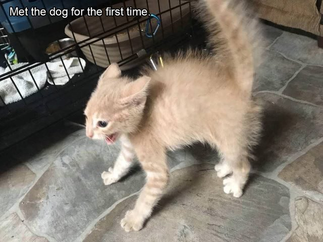 Frightened kitten. Caption: Met the dog for the first time.