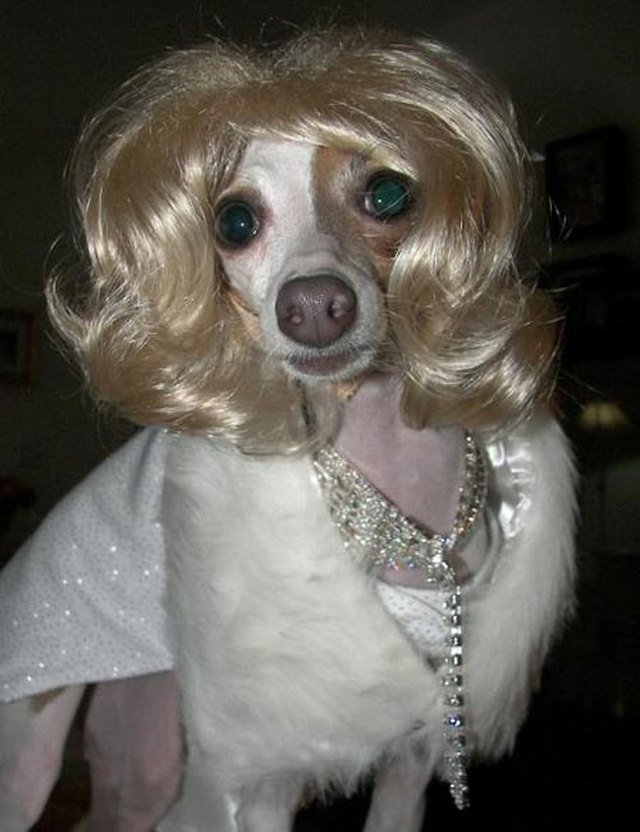 Dog dressed up like Marilyn Monroe