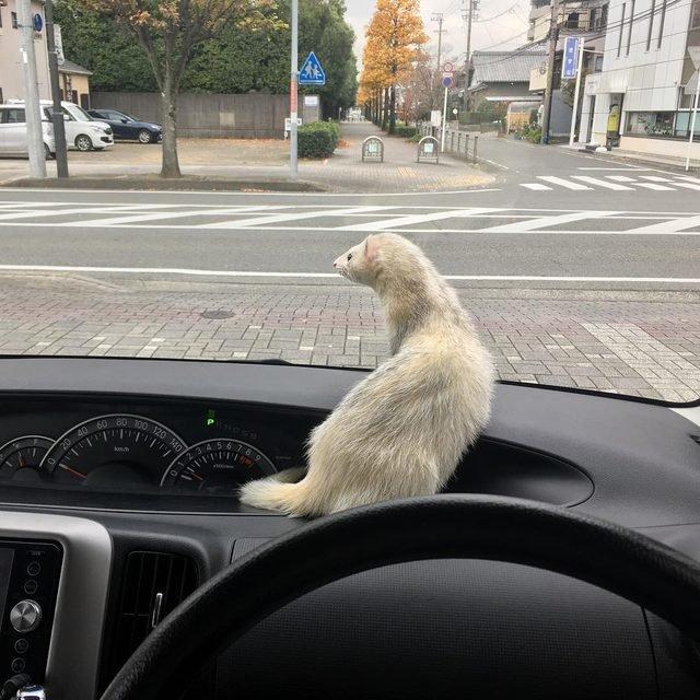 Ferret on dashboard of car.