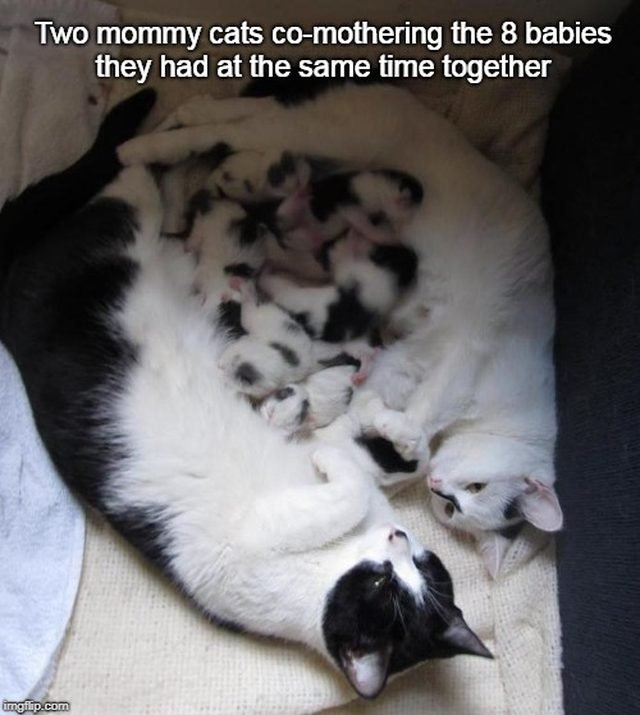 Two cats lying down with a pile of kittens between them. Caption: Two mommy cats co-mothering the 8 babies they had at the same time together