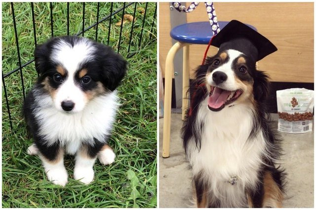 Side-by-side photos of dog as a puppy and an adult wearing a graduation cap.
