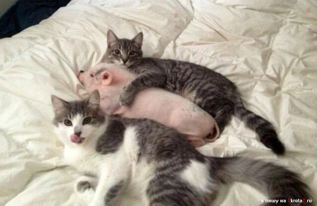 Two cats cuddling a piglet.