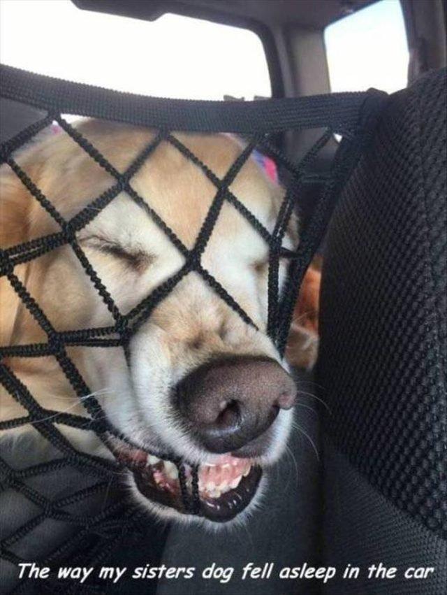 Dog sleeping weird in car