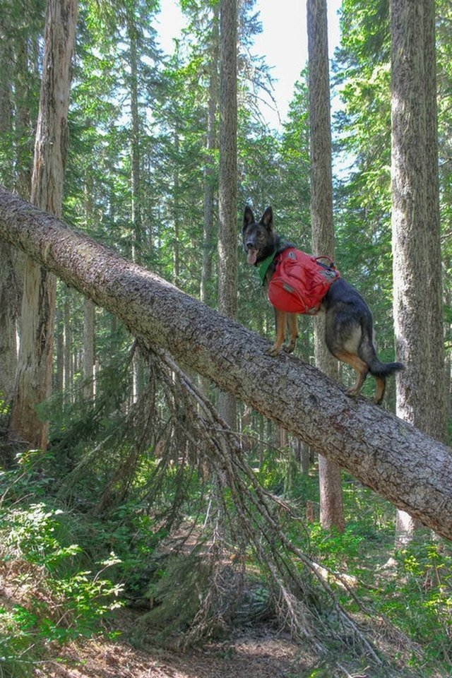 Dog wearing a backpack standing on a fallen tree.