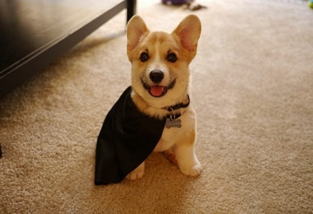 Corgi pup in a cape