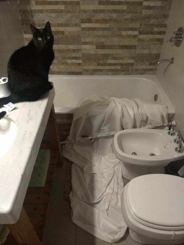 Cat standing next to broken shower curtain.