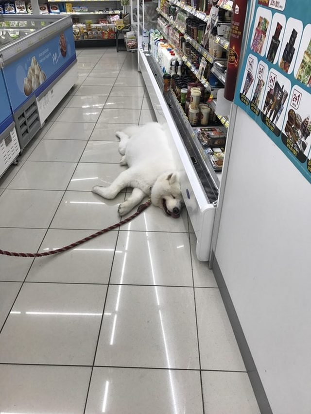 Dog in a grocery store lying next to a refrigerated display case.