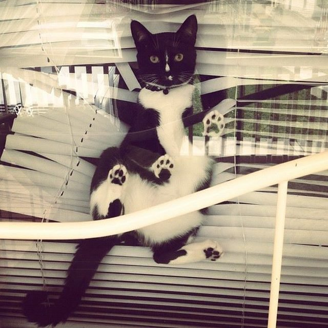 Cat tangled in window blinds.