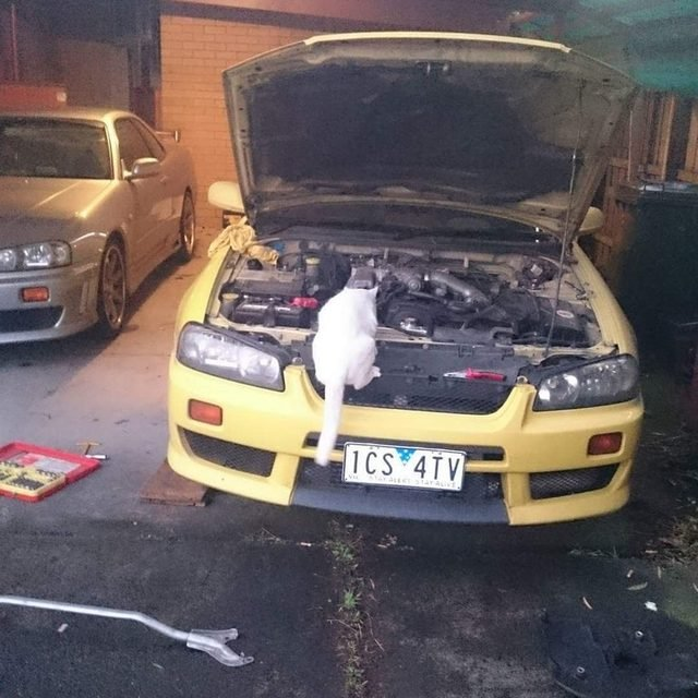 Cat looking into car engine.