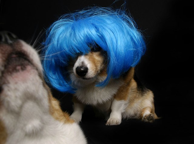 Corgi in a blue bob