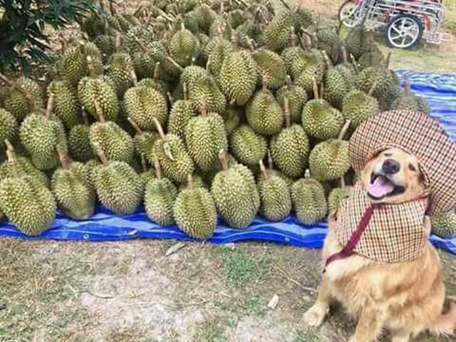 Dog in front of pile of durian fruit