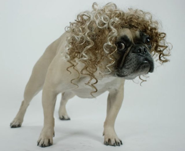 Dog with a curly wig