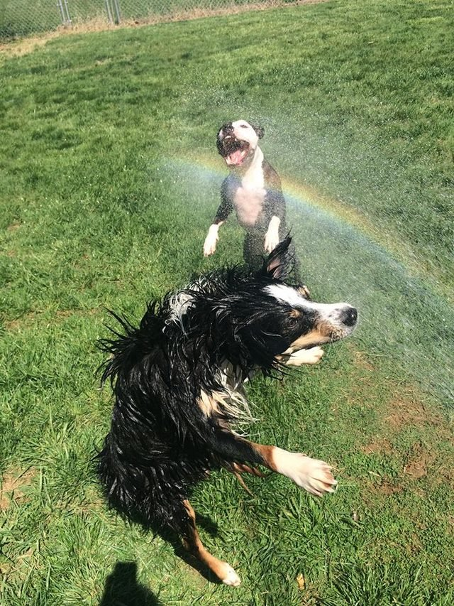 Two dogs jumping into the spray of a garden hose.