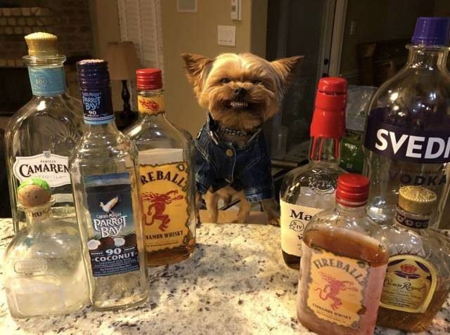 Yorkie in a Levi jacket with a lot of liquor bottles and he is smiling