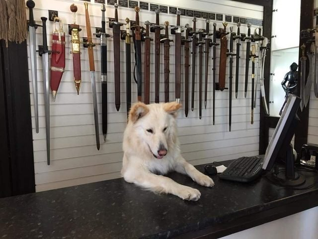 Dog behind counter of store selling swords.