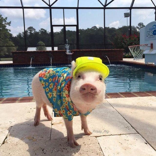 Pig wearing baseball hat and Hawaiian shirt.