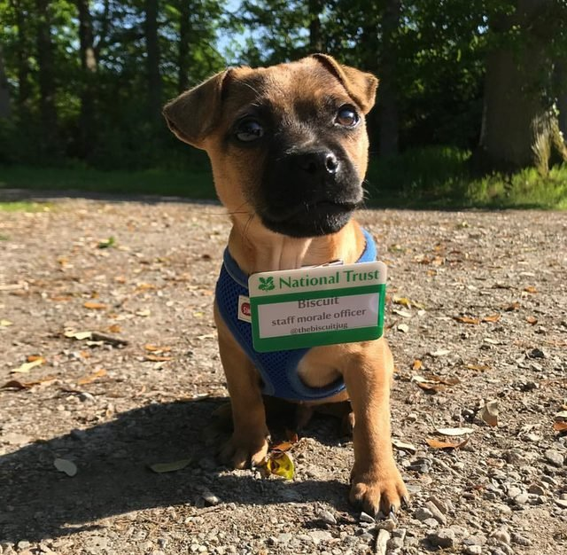 """Dog wearing name tag that says """"Biscuit, staff morale officer."""""""