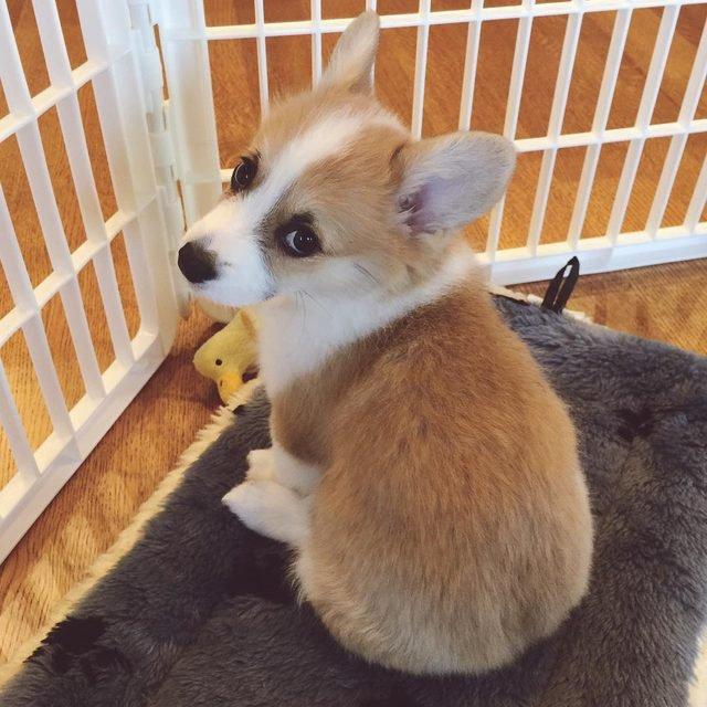 Corgi looking sad and cute!