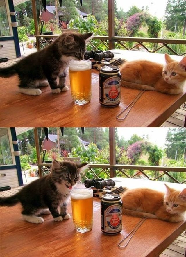 Kitten tasting beer and making a disgusted face.
