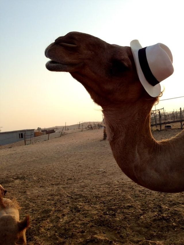 Camel wearing tan fedora.