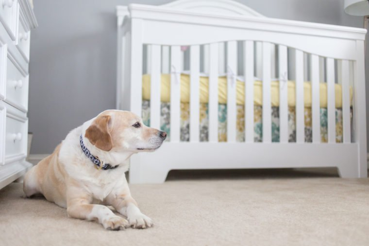 Dog gets ready to welcome baby to the family, dog stands in the nursery