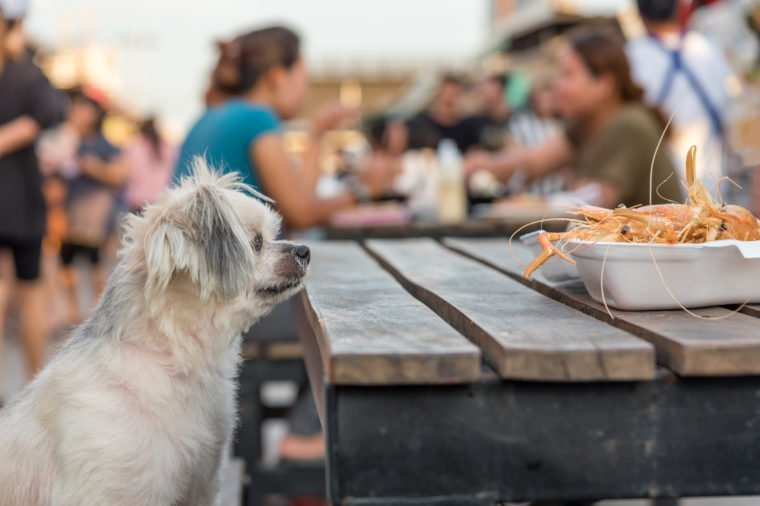 Dog so cute mixed breed with Shih-Tzu, Pomeranian and Poodle sitting at wooden table outdoor restaurant waiting to eat a prawn fried shrimp seasoning salt feed by people is a pet owner