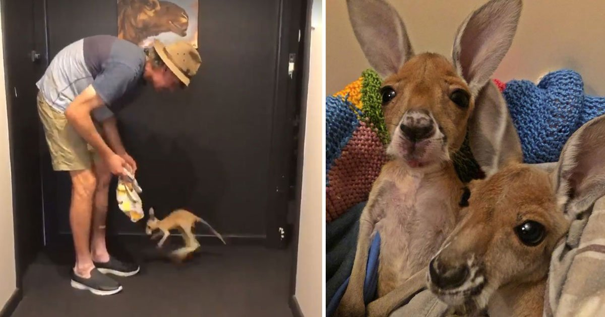 baby kangaroo.jpg?resize=636,358 - Video Of An Orphaned Baby Kangaroo Hopping For The First Time Will Make Your Day