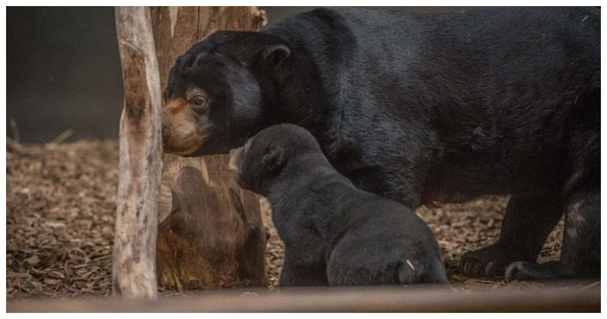 bear 1.jpg?resize=412,232 - The First Sun Bear Cub Ever To Be Born In The UK Has Emerged From Her Den To Play With Her Mother