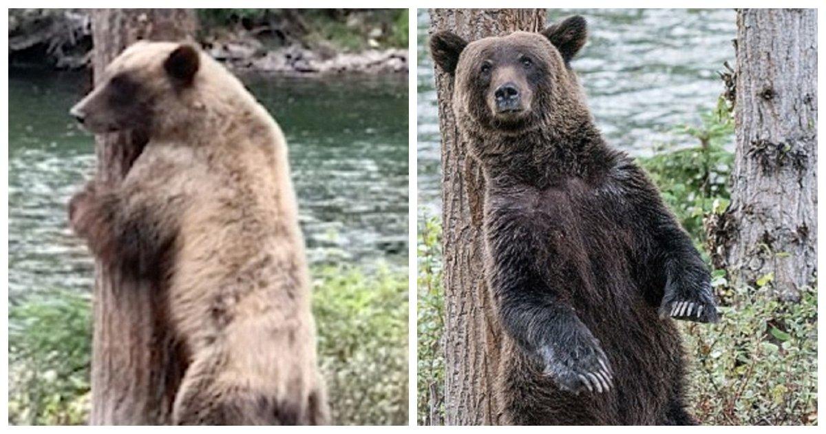 bear.jpg?resize=1200,630 - Un homme capture une vidéo d'un ours brun au Canada en train de «twerker» pour s'attaquer à une démangeaison tenace