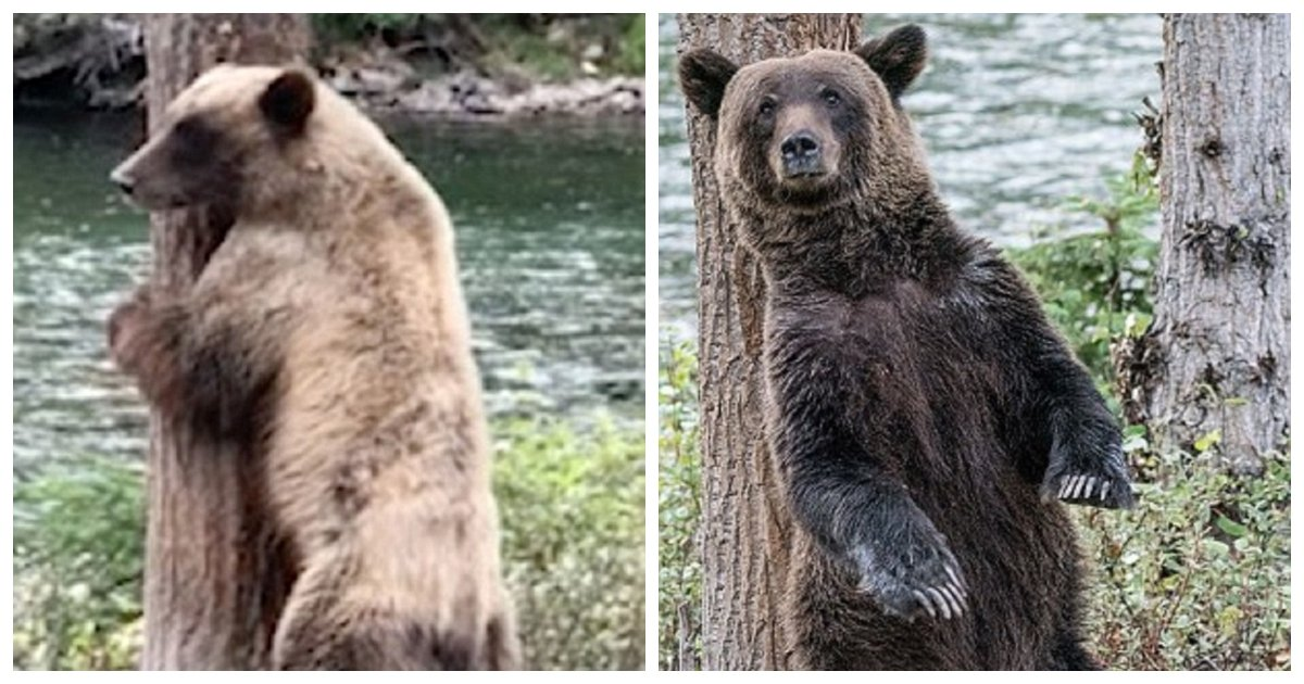 "bear.jpg?resize=636,358 - Man Captures Video Of Brown Bear In Canada ""Twerking"" To Get At That Stubborn Itch"