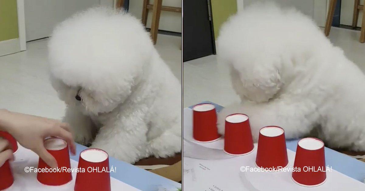 """bichon.jpg?resize=412,232 - """"El perro más listo de internet"""", conoce su extraordinaria inteligencia"""