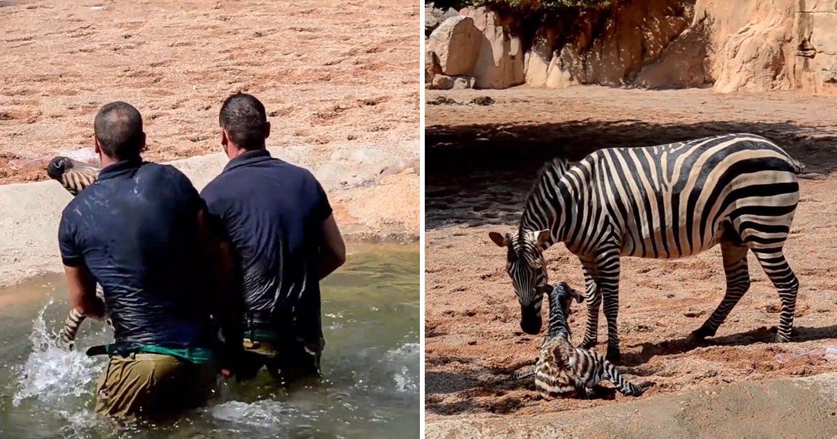 capa37ufvj.png?resize=300,169 - Funcionários de zoológico salvam um bebê zebra de se afogar segundos após seu nascimento
