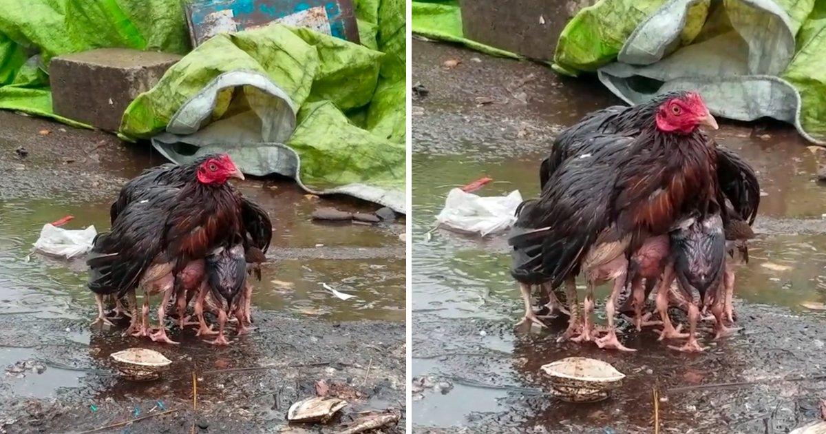 capa567.png?resize=636,358 - Mamãe galinha fica ensopada enquanto protege seus bebês da chuva