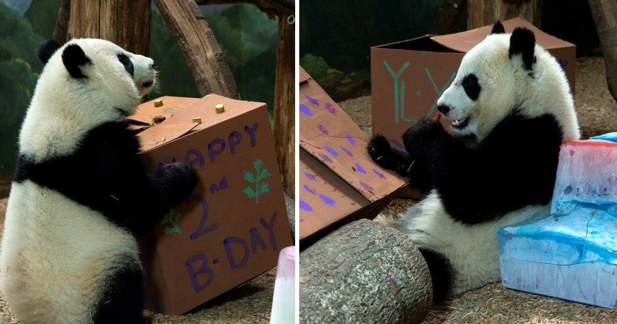 capa6kk.png?resize=1200,630 - Pandas gigantes gêmeos comemoram 2 anos de idade - mais fofos do que nunca!