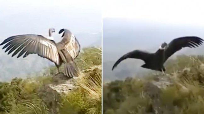 condon 1.jpg?resize=648,365 - Belo momento em que um Condor se despede para alçar seu primeiro voo comove o mundo