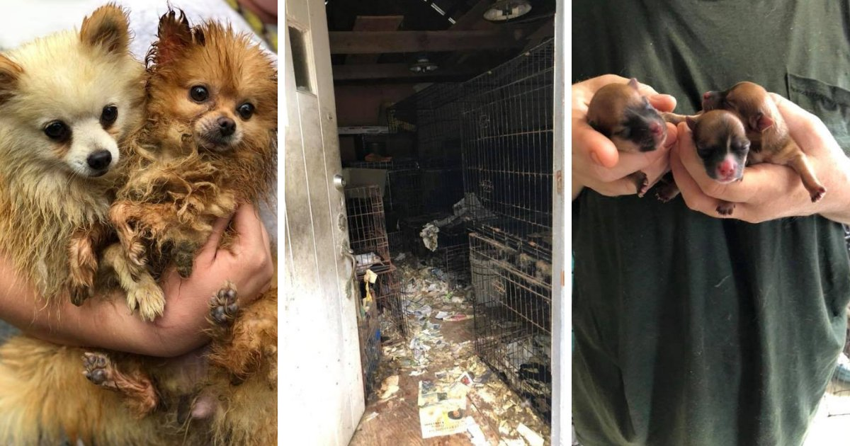 dogs5.png?resize=636,358 - 83 Dogs And Puppies Rescued From Deplorable Conditions At Puppy Mill Where Owners Sell Them On Facebook