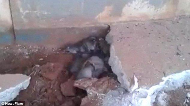 Résultat de l'image pour des dizaines de rats chinois sortant du ciment