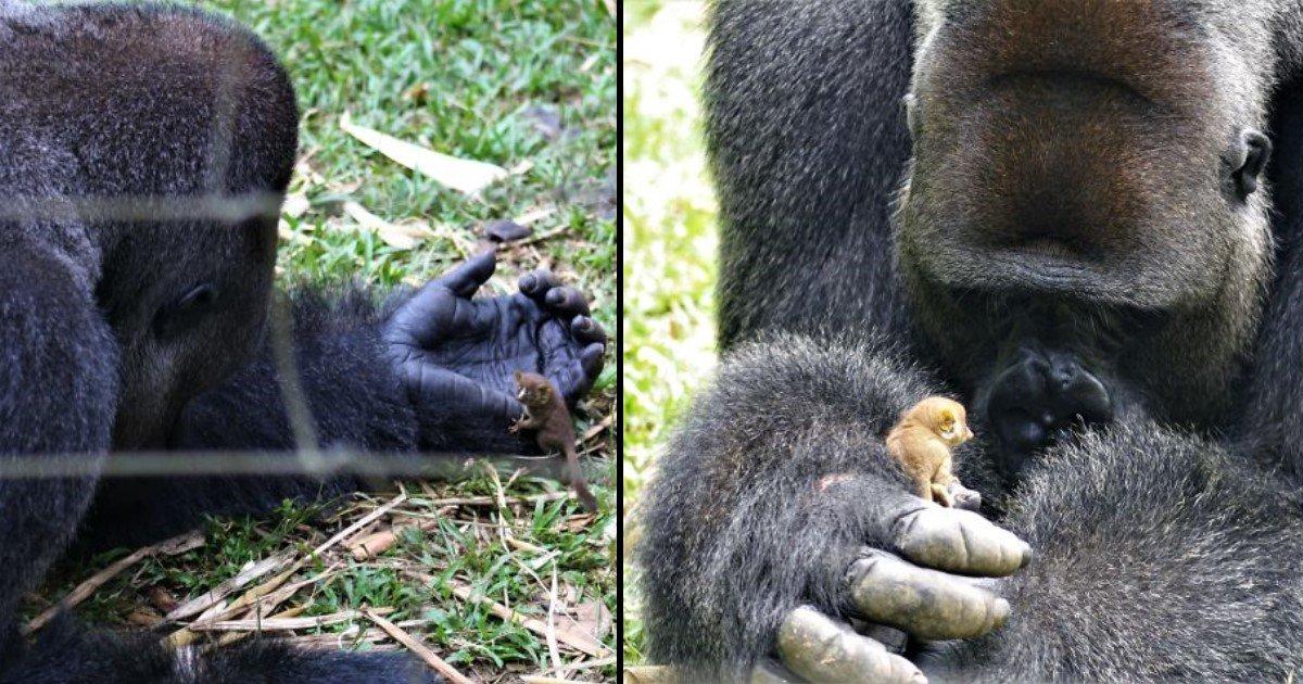 featured image 13.jpg?resize=300,169 - Bobo, un gorille de 24 ans s'est lié d'amitié avec une étrange créature