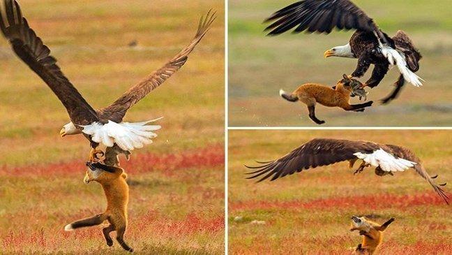 featured image 14 1.jpg?resize=1200,630 - Fotógrafo captura batalha épica entre uma raposa e uma águia por um coelho - e tudo acontece a 6 metros do chão