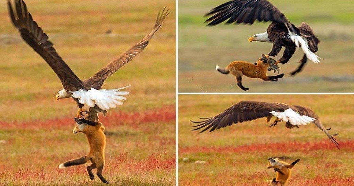 featured image 14.jpg?resize=636,358 - Un photographe capture la bataille entre un Renard et un Aigle pour un Lapin