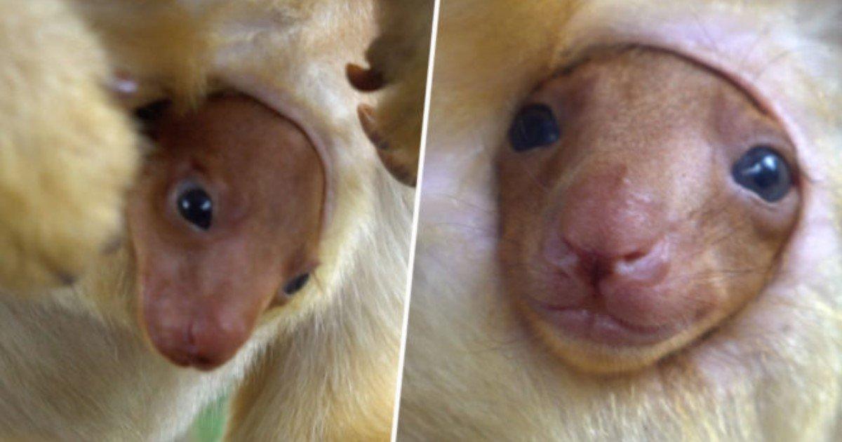 featured image 43.jpg?resize=1200,630 - Rare : un bébé kangourou d'une espèce très rare sort sa petite tête de la poche de sa mère