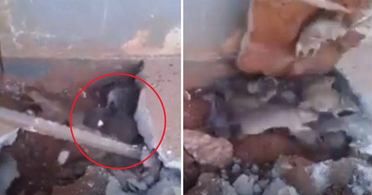fgfg.jpg?resize=636,358 - Terrifying Footage Of Dozens Of Rats Coming Out Of A Building After Workers Discovered Them Under A Floor
