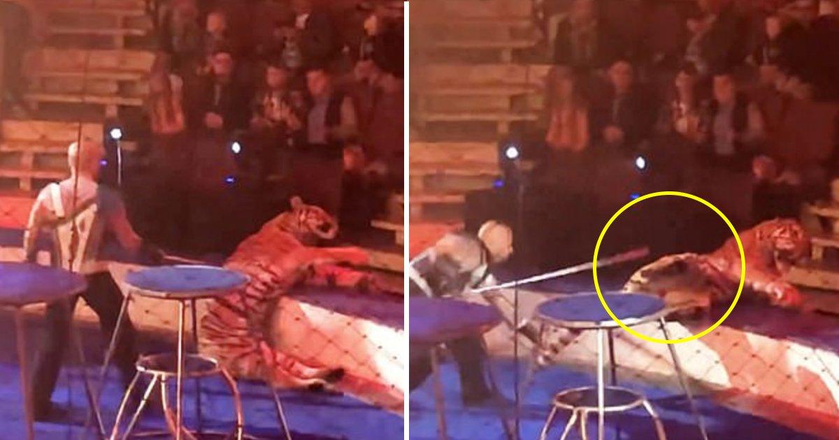 gag 1.jpg?resize=1200,630 - Un tigre d'un cirque russe est victime d'une crise d'épilepsie devant une salle comble