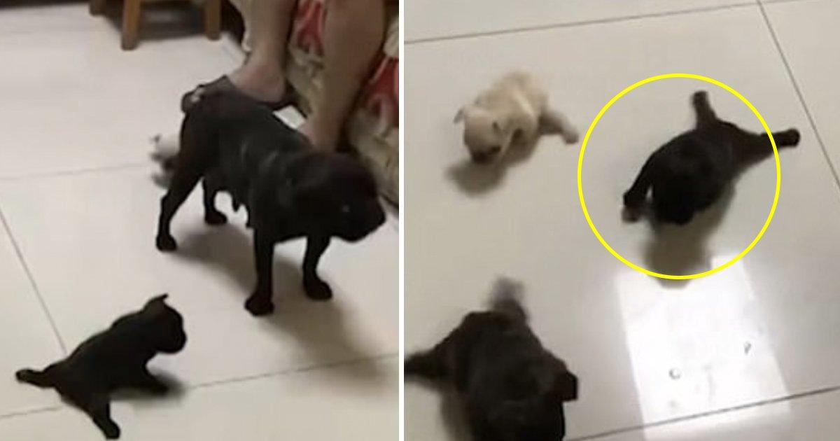 gg 2.jpg?resize=1200,630 - Les adorables chiots bulldog français font leur premier pas dans la vie