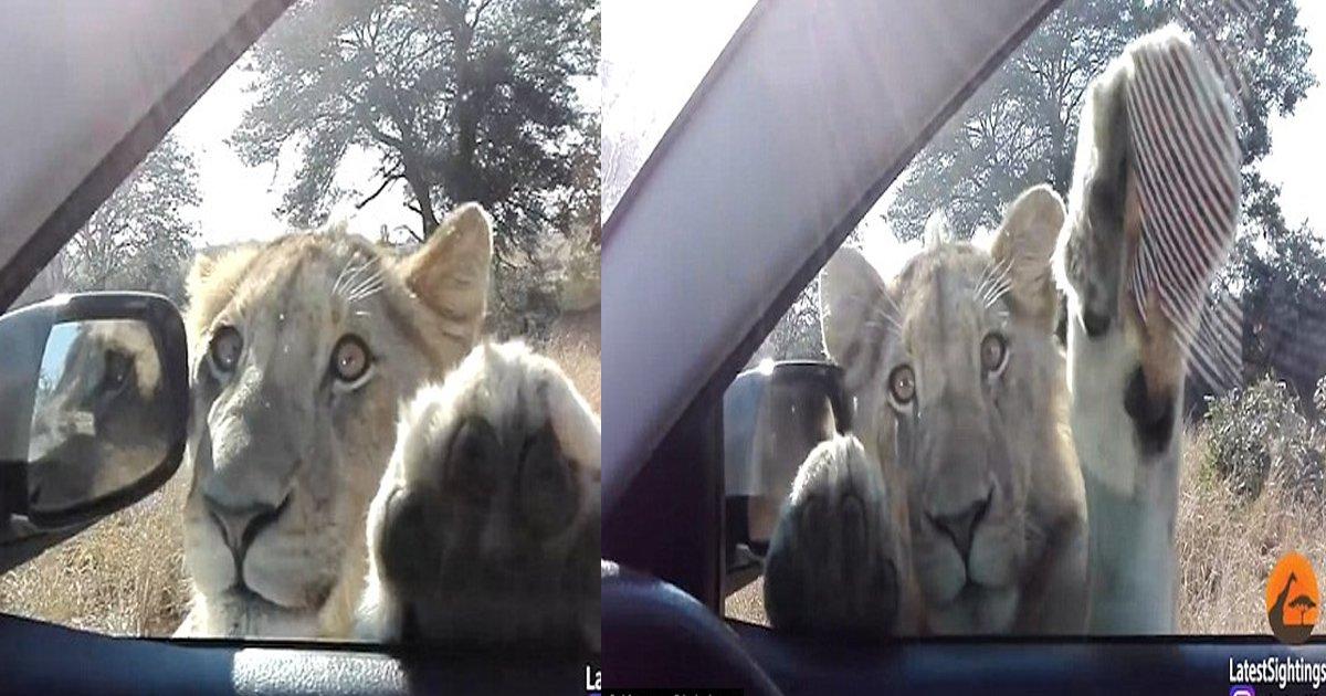 gg.jpg?resize=636,358 - Une vidéo enregistrée en Afrique du Sud montre un jeune lionceau pour le moins joueur!