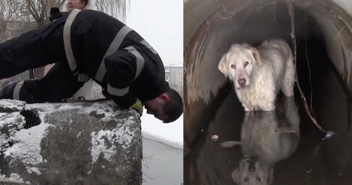 gga 1.jpg?resize=636,358 - A Dog Was Saved From Drainage Pipe Where It Took Shelter And Then Got Trapped