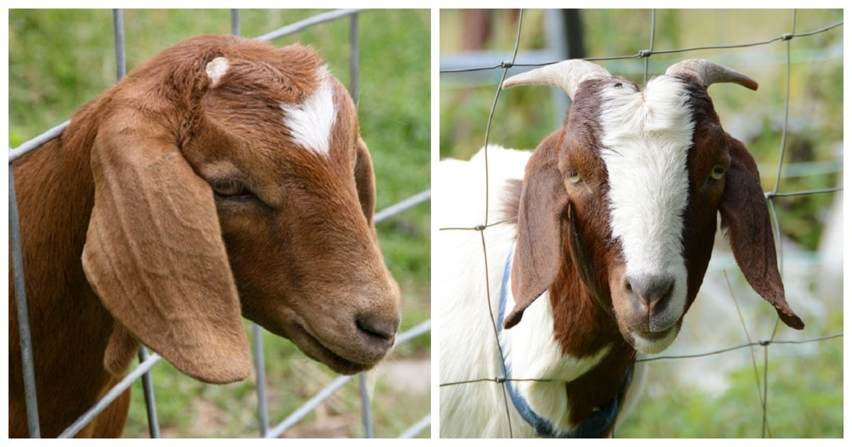 goat.jpg?resize=412,232 - These Hilarious Stories Of Goats Trolling Humans Prove How Genius Goats Really Are