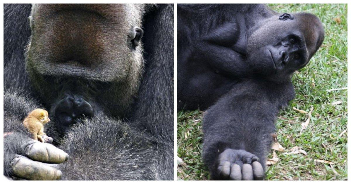 "gorilla 1.jpg?resize=636,358 - The Adorable Moment 350-Pound Silverback Gorilla Befriends Extremely Tiny ""Bush Baby"""