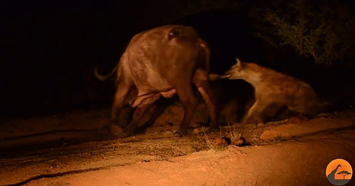 gss.jpg?resize=300,169 - Buffalo Saved Itself From The Attack By A Pride Of Lions But A Hyena Attacked It Afterwards