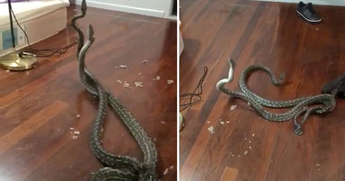 haha 1.jpg?resize=1200,630 - Terrifying Moment When Pair Of Fighting Pythons Fall Through Ceiling Into Family's Bedroom